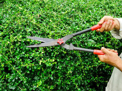 Hedge Cutting / Pruning