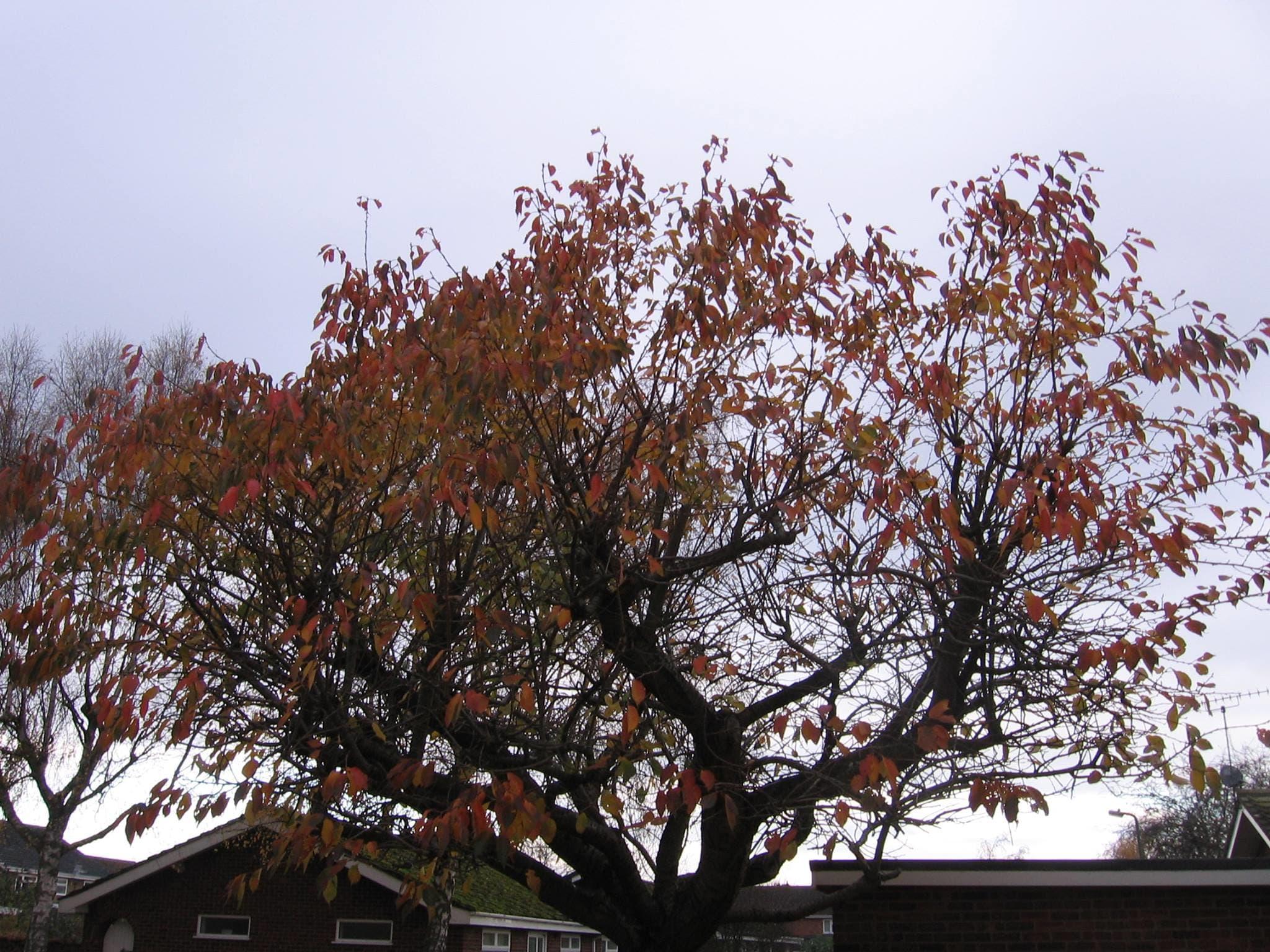 Crown / Canopy Raising