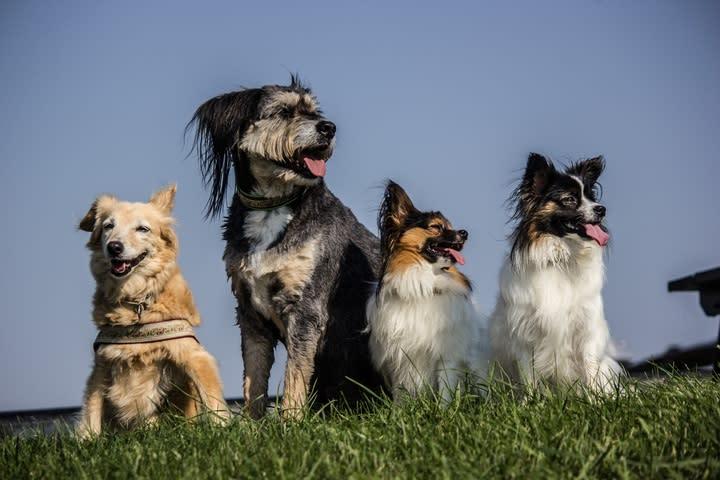 4 dogs - One pickup per week