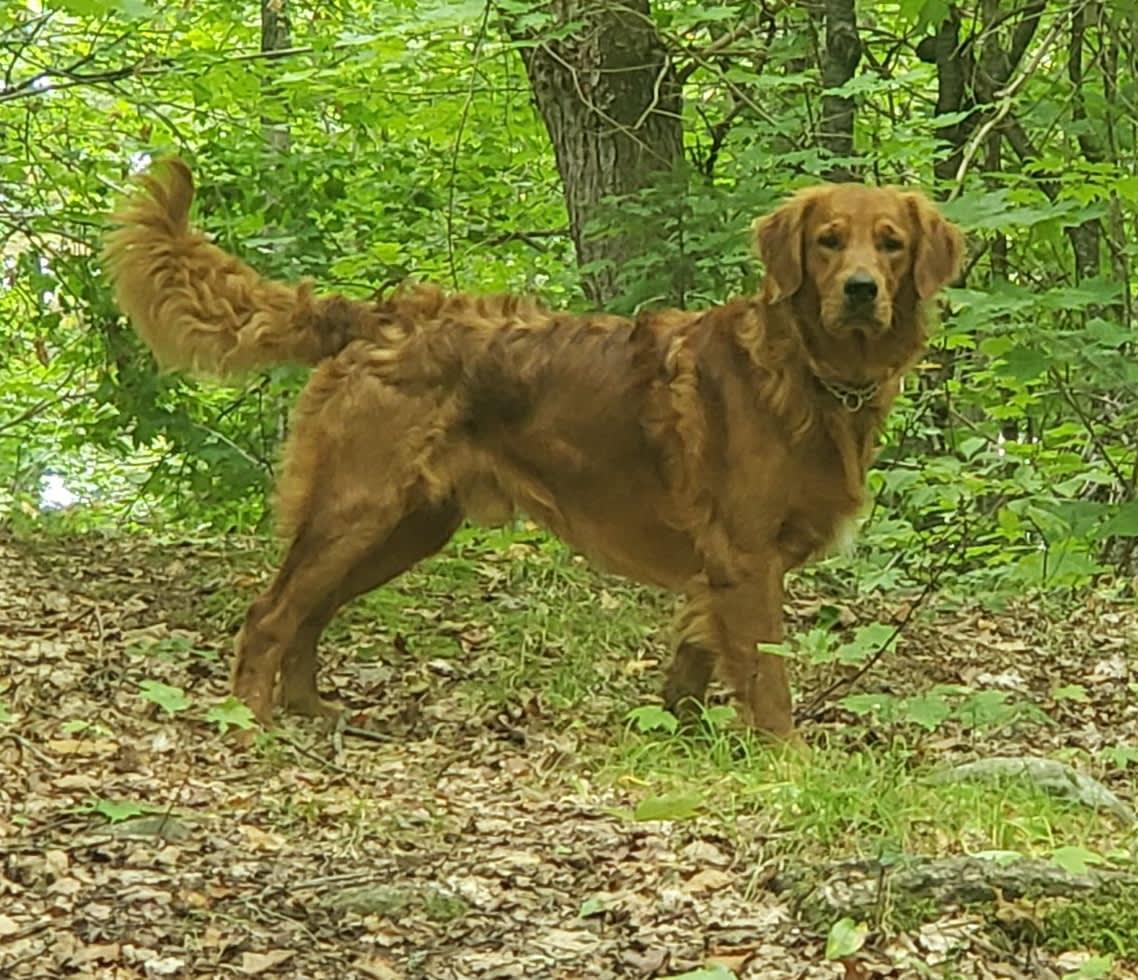 Connollys Clan Golden Retriever Dog Breeder Kitchener
